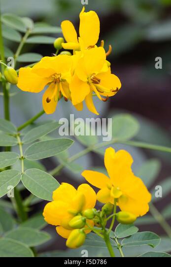 tropical flowering shrub stock photos  tropical flowering shrub, Beautiful flower