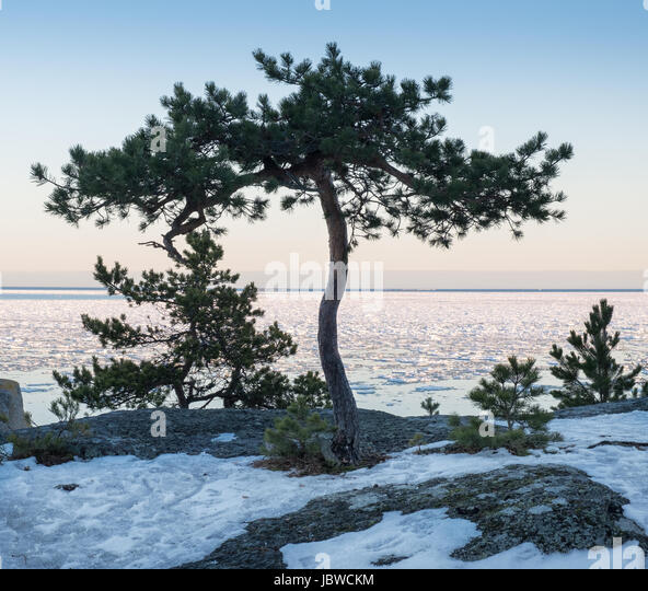 Seascape with lonely tree and nice evening light at winter time - Stock Image