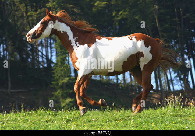 Paint Horse Stock Photos & Paint Horse Stock Images - Alamy