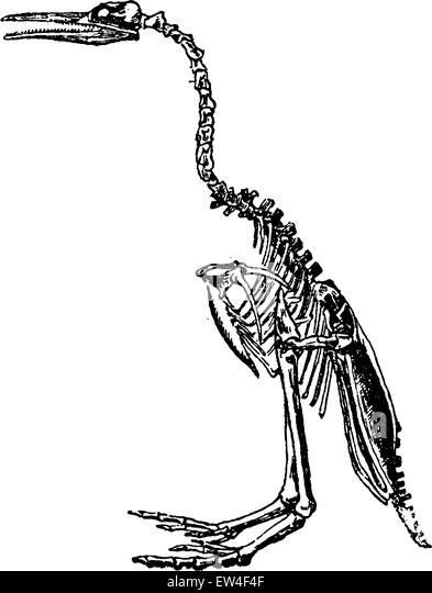 hesperornis skeleton vintage engraved illustration natural history of animals 1880 stock