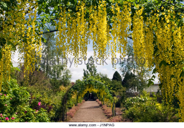 Inspiring Laburnum Walk Stock Photos  Laburnum Walk Stock Images  Alamy With Exciting Laburnum Walk At The Garden At The Bannut Bringsty Herefordshire May   Stock Image With Charming Hilton Garden Inn State College Also Garden Weaver In Addition Garden Room Kits And Babylon Kensington Roof Gardens Menu As Well As Sundials For The Garden Additionally Garden Tableware From Alamycom With   Exciting Laburnum Walk Stock Photos  Laburnum Walk Stock Images  Alamy With Charming Laburnum Walk At The Garden At The Bannut Bringsty Herefordshire May   Stock Image And Inspiring Hilton Garden Inn State College Also Garden Weaver In Addition Garden Room Kits From Alamycom