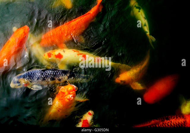 Goldfish koi pond stock photos goldfish koi pond stock for Colorful pond fish
