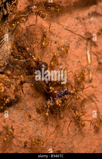 Army Ants Stock Photos & Army Ants Stock Images - Alamy Army Ants Attacking