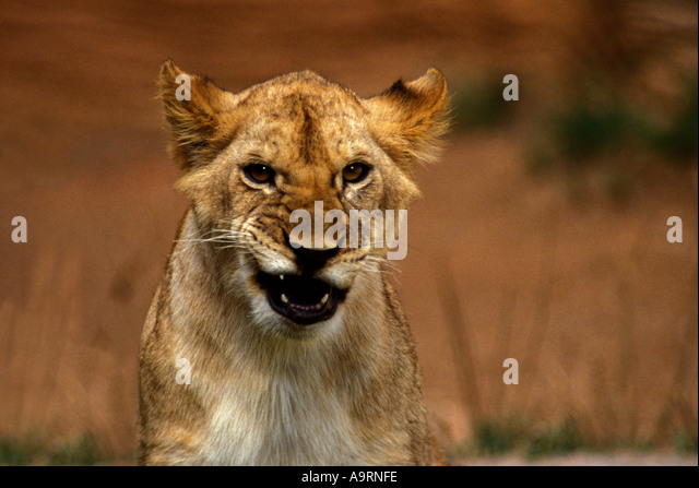 Lioness Panthera Leo Growling Stock Photos & Lioness Panthera Leo ...