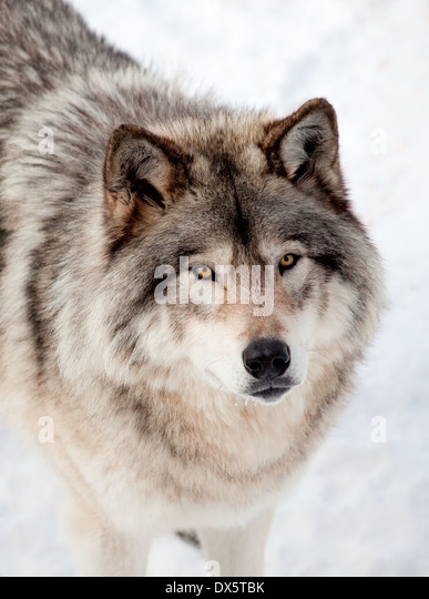Wolf close up face