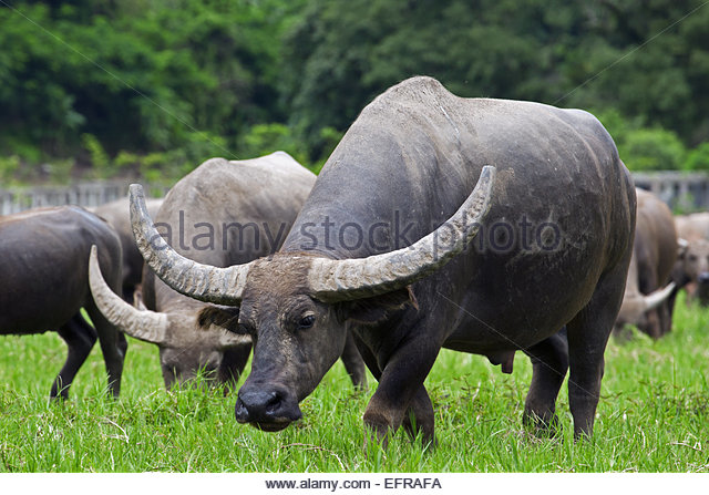 water buffalos asian