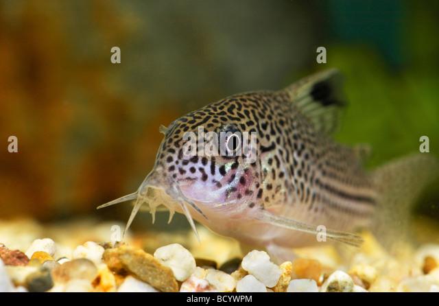 leopard corydoras corydoras julii mosaic corydoras corydoras ...