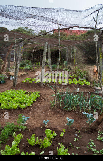 A Vegetable Garden With Lettuce And Onions Enclosed With Chicken Wire On  Tree Branches That Have