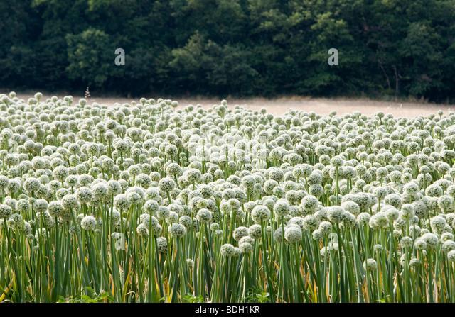 Onion Seed Heads Stock...