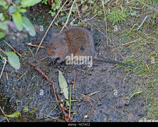 Water Vole Droppings Stock Photos Water Vole Droppings Stock Images Alamy