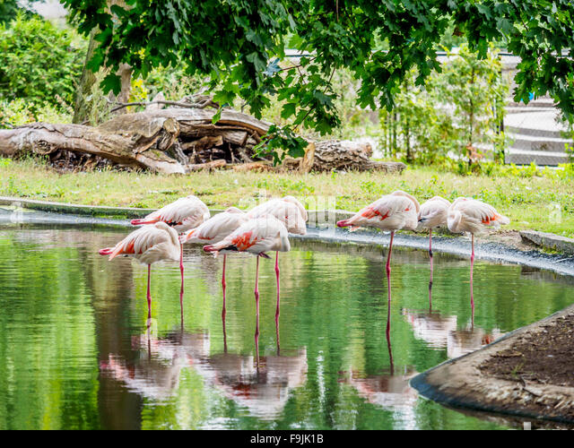 Flamingos Standing Water Pond Stock Photos Flamingos Standing Water Pond Stock Images Alamy