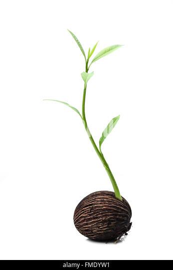 suicide tree seeds