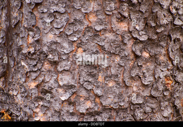 Spruce Bark Stock Photos & Spruce Bark Stock Images - Alamy