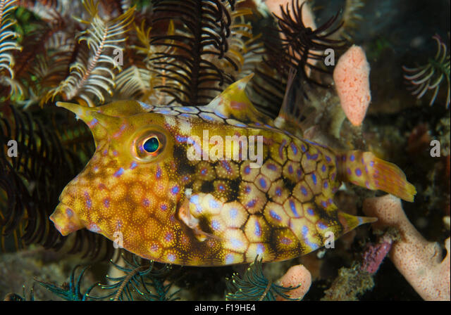 px52037 d longhorn cowfish lactoria comuta indonesia tropical pacific ocean