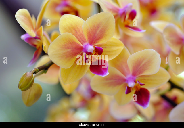 Yellow And Pink Orchid Yellow Pink Orchid Flo...