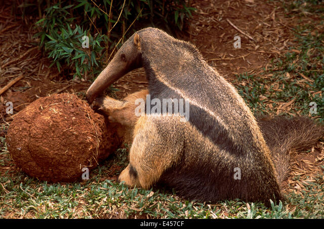 endangered mammal maned three toed sloth bradypus Three-toed sloth facts and information introduction to three-toed sloth the three-toed sloth is a mammal and there are four species that have been identified.