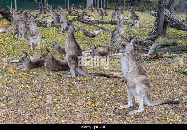 Kangaroos (macropods), Lone Pine Sanctuary, Brisbane, Queensland, Australia, Pacific - Stock Image