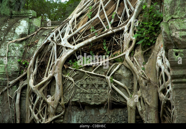 Fig Tree Roots Stock Photos & Fig Tree Roots Stock Images - Alamy