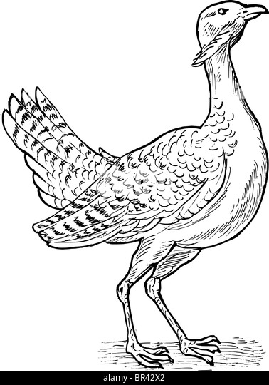 hand sketch drawing illustration of the great bustard bird stock image