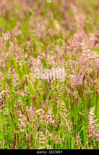 Wildflower meadow uk stock photos wildflower meadow uk for Wild ornamental grasses