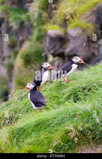 Puffins Iceland Stock ...