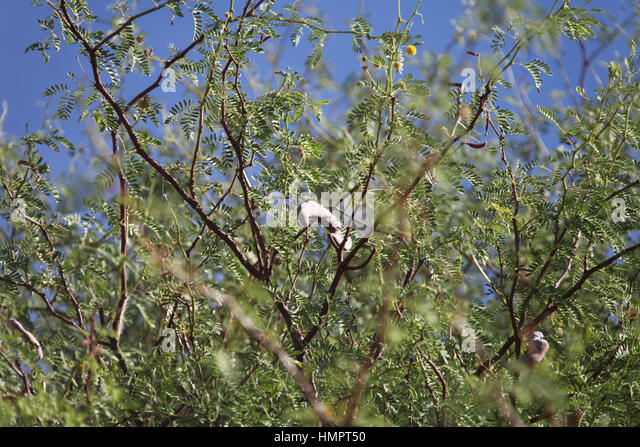 how to grow a camel thorn tree