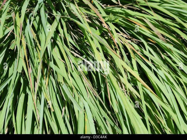 lemongrass plant stock photos lemongrass plant stock images alamy. Black Bedroom Furniture Sets. Home Design Ideas