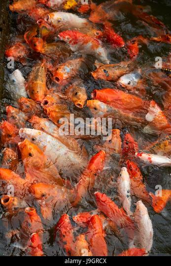 Koi fish pond stock photos koi fish pond stock images for Ornamental koi