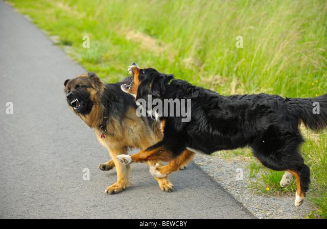 German Shepherd Dog Fight Fight German Shepherd ...