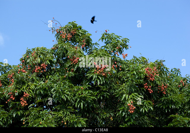 litchi tree stock photos  litchi tree stock images  alamy, Beautiful flower