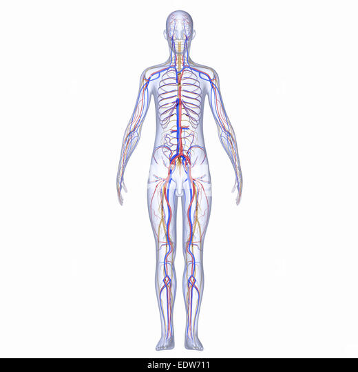 an illustration on the processes in the peripheral nervous system Identify the anatomical and functional divisions of the nervous system  cord, and the peripheral nervous system  likely from the cns—for example, a frontal.