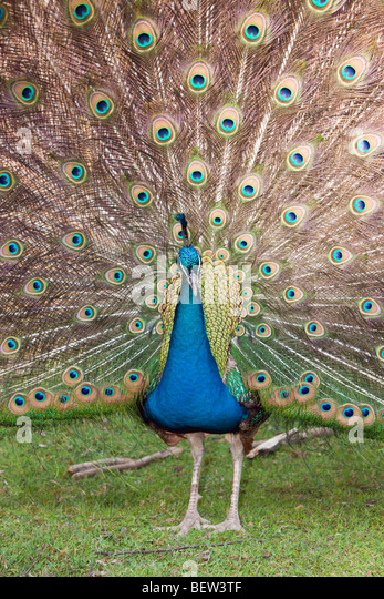 pavo hindu singles The hindu community as the carrier of karthikeya,  of single birds recorded at dobhan,  status of indian peafowl pavo cristatus in nepal.