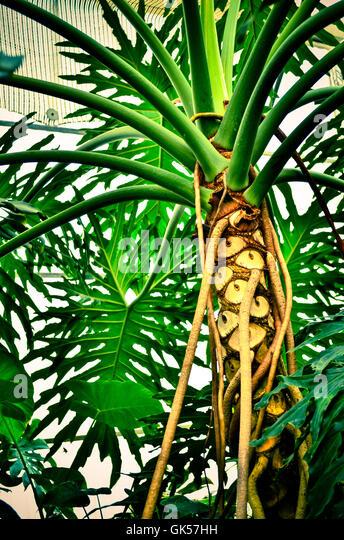 Cape Thorn Tree Stock Photos Cape Thorn Tree Stock