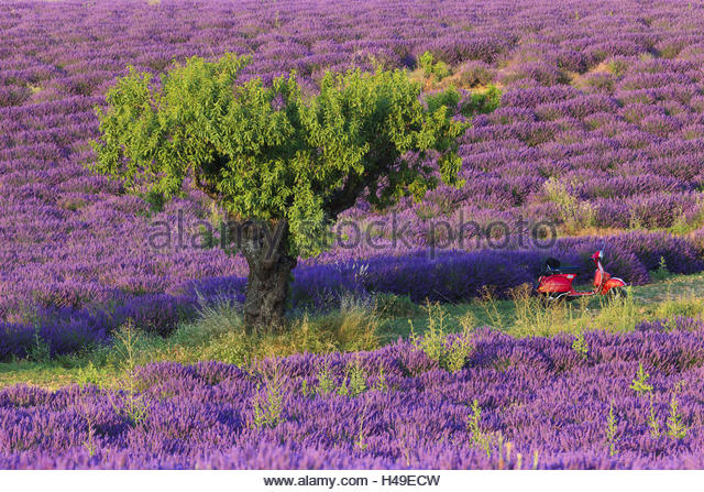 lavender and almond almond tree prunus dulcis stock photos almond tree prunus dulcis