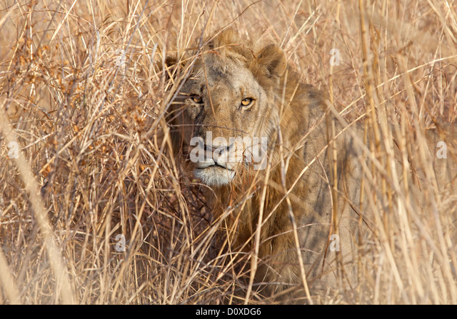 african lion camouflage stock photos amp african lion