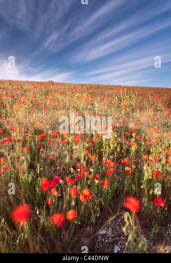 poppies in the wind - photo #22