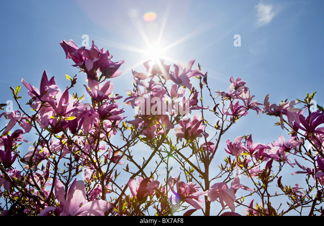 Purple Magnolia Stock Photos & Purple Magnolia Stock ...