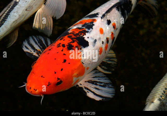 Butterfly Koi Stock Photos & Butterfly Koi Stock Images ...