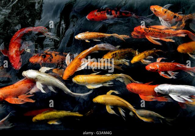Colorful life koi fish pond stock photos colorful life for Colourful koi fish