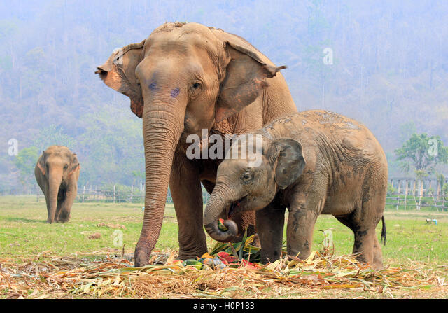 asian elephant eating stock photos asian elephant eating stock images alamy. Black Bedroom Furniture Sets. Home Design Ideas