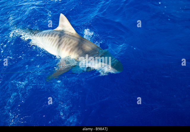 Haken stock photos haken stock images alamy for Shark fishing games