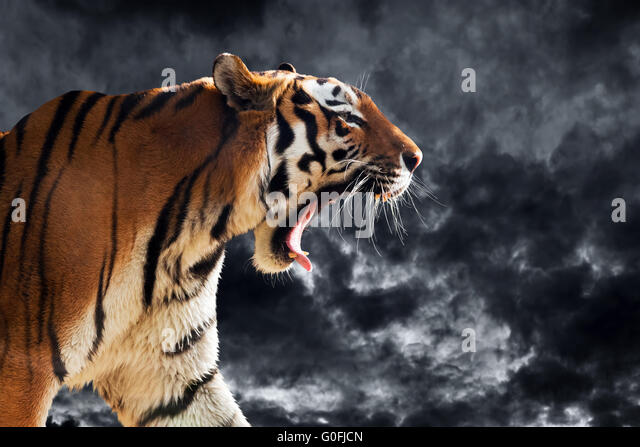 Tiger Growl Profile
