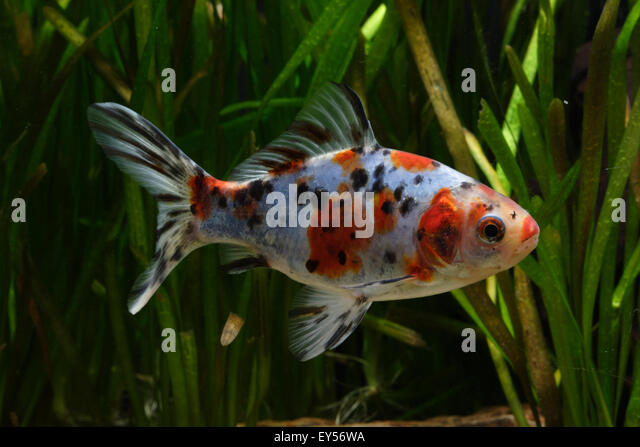 Shubunkin Stock Photos & Shubunkin Stock Images - Alamy
