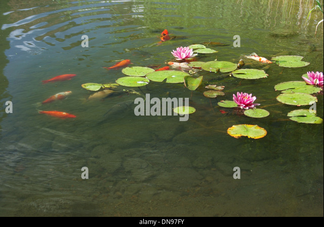 Colorful koi carp chinese fish stock photos colorful koi for Colorful pond fish