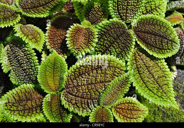 Pilea stock photos pilea stock images alamy for Plante pilea