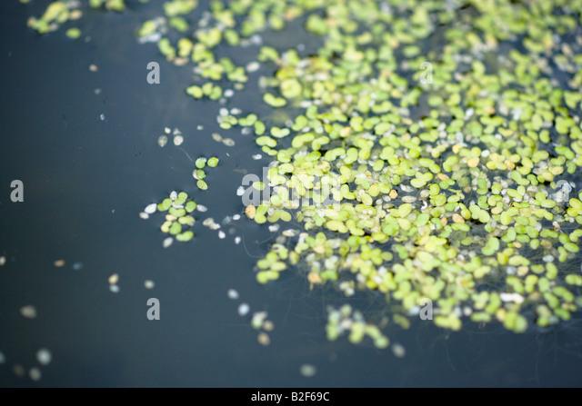Duckweed stock photos duckweed stock images alamy for Garden pool duckweed