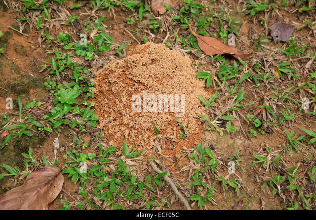 Tropical Ants Nest On The Jungle Floor   Stock Image