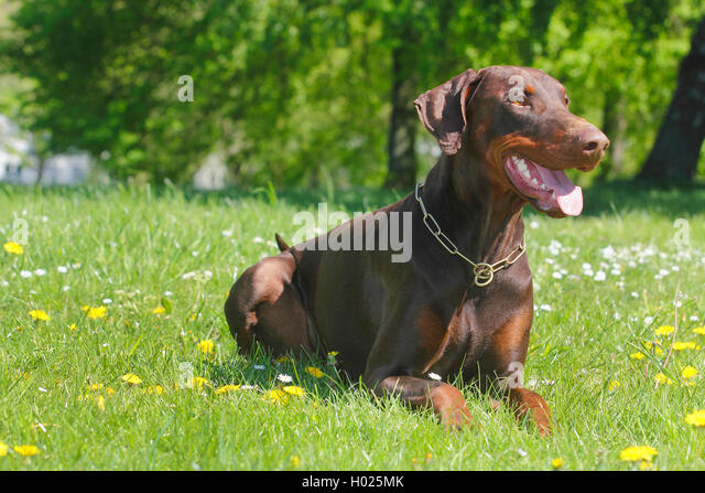 Dobermann alter