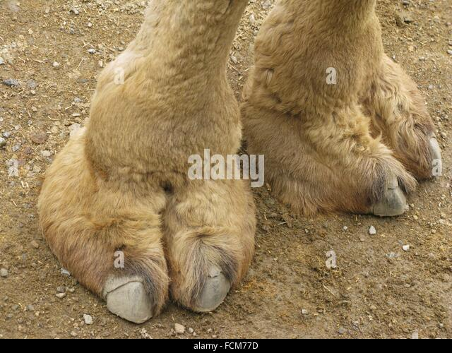 information about the hoofed mammal camel Wild bactrian's hoof is part of the us camel corps experiment, used as draft animals in wild bactrian camel fact sheet usda: information resources on.