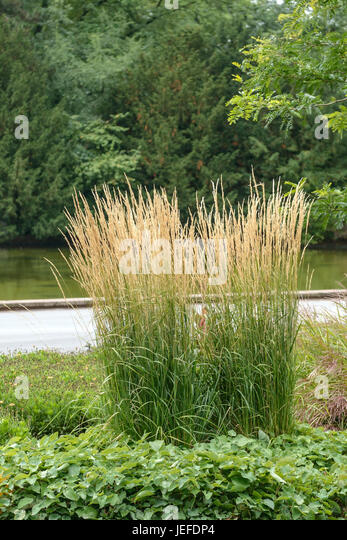 calamagrostis karl foerster stock photos calamagrostis karl foerster stock images alamy. Black Bedroom Furniture Sets. Home Design Ideas